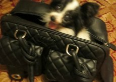 my dog in pet hand bag, product for dog