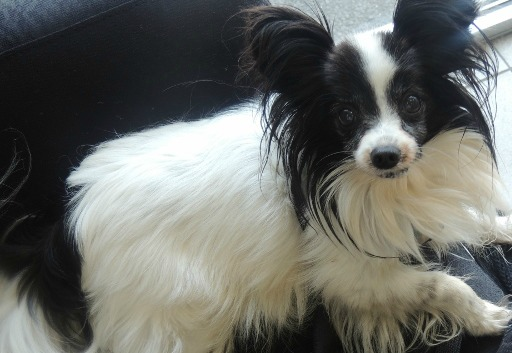 chip my papillon dog, dog is a gift
