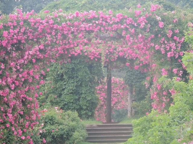 arch pink roses elizabeth park,pictures