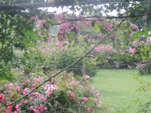 beautiful rose garden Elizabeth park,ct