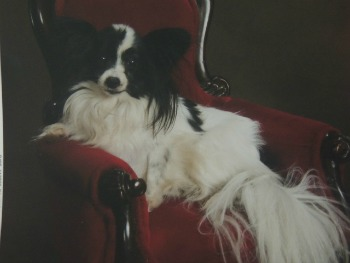 my papillon dog, about me