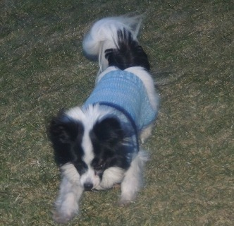 my papillon playing,in the park