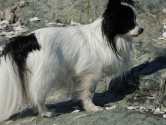 My papillon chip, privacy policy climbing on the beach